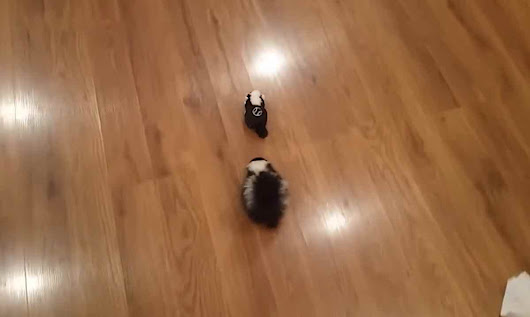 Daily Dose of Cute: Watch Baby Skunk Delight in Chasing After Remote-Controlled Version of Itself