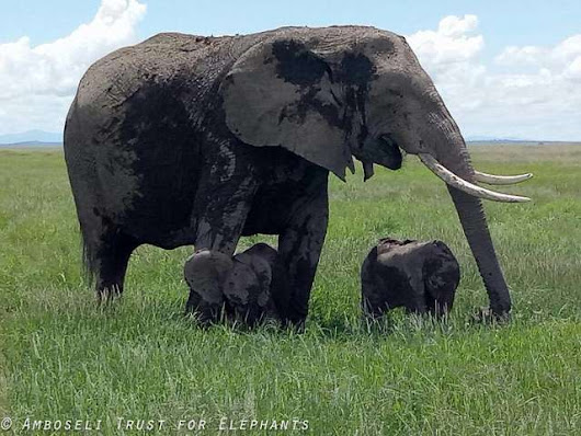 Paru, The Famous Amboseli National Park Resident delivers twins.