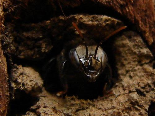 abelha-guarda de Melipona mandacaia (mandaçaia)