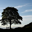 Sycamore Gap nominated for England's Tree of the Year