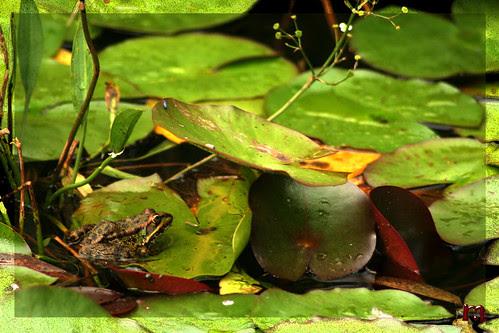 la rana en su estanque
