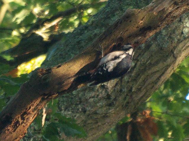 DSC_4937 Greater spotted woodpecker