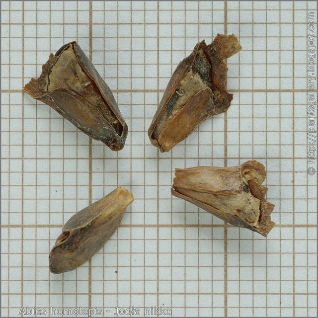 Abies homolepis seeds - Jodła nikko nasiona
