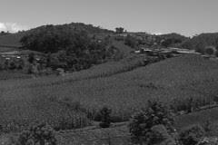 Guatemala - corn fields