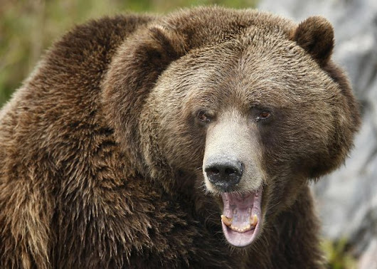 Alberta wilderness advocates worry about grizzly bear deaths