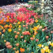 The 2017 Philly Flower Show Celebrated Holland's Tulips and Dutch Wonders