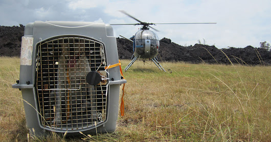 ASPCA Assists Animals Endangered by Kilauea Volcano Eruptions