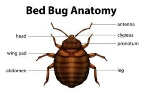 Everything About Bed Bugs   Fischer's Pest Control