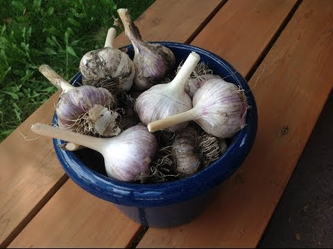 Grow Garlic in Alberta