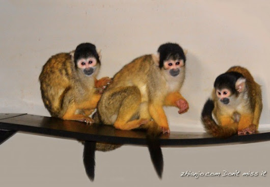 Bolivian Squirrel Monkey - Zhianjo.com Don't Miss It!!