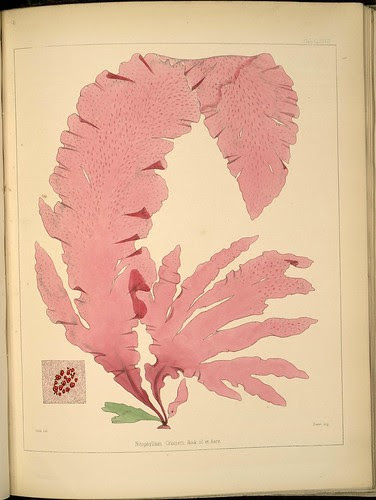 Antarctic botanical specimen - Nitophyllum crozieri