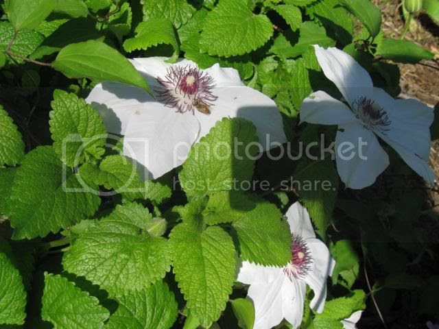 Henryi Clem in Cellar Bed with lemon balm and honey bee photo IMG_0194_zps2f101605.jpg