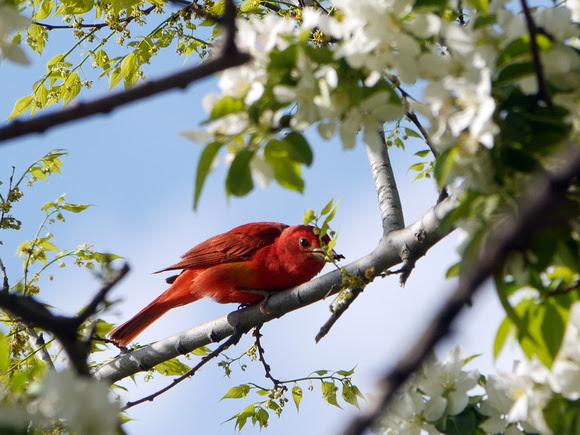 Ed Gaillard: birds &emdash; Summer Tanager, Central Park