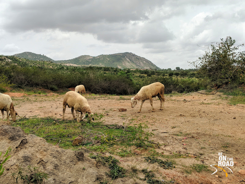 Sheep grazing in rural Chikkaballapur