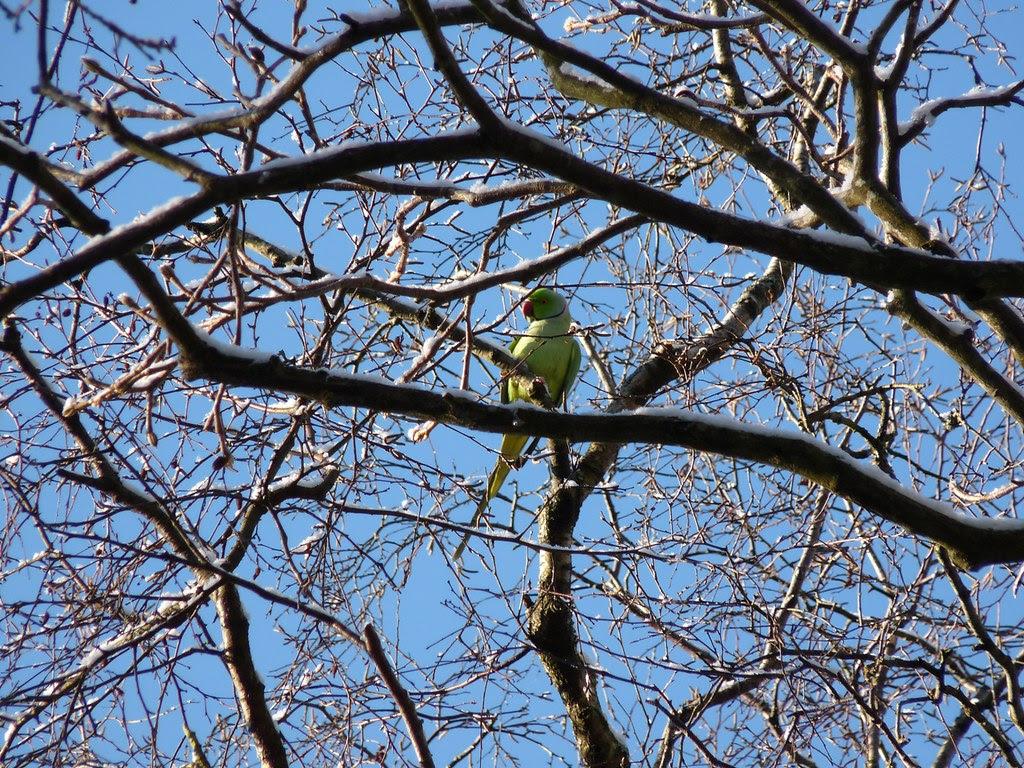 23766 - Ring Necked Parakeet, Singleton Park