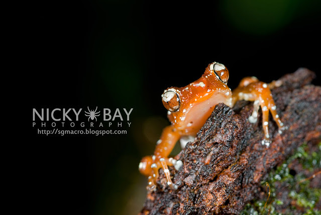 Spotted Tree Frog (Nyctixalus pictus) - DSC_6304