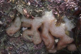 Amaroucium californicum
