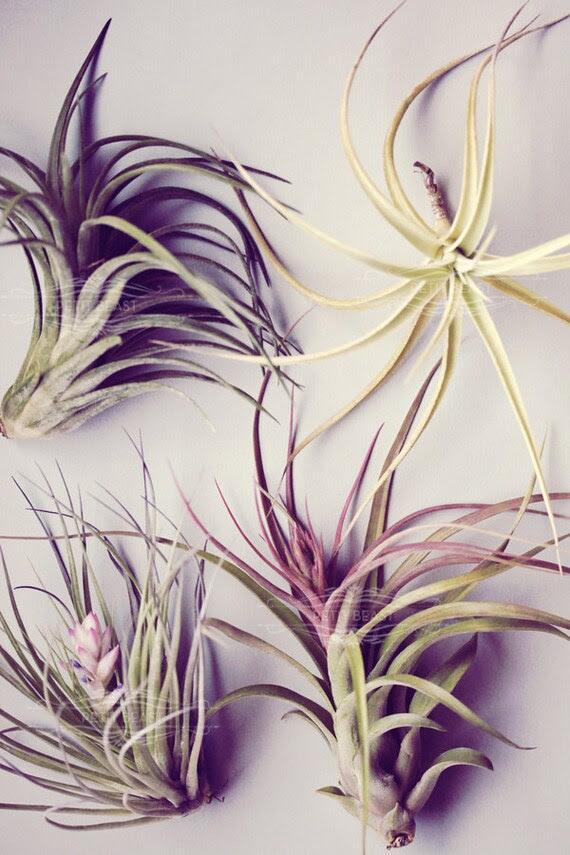LARGE Mystery Air Plant // air plants tillandsia terrarium garden