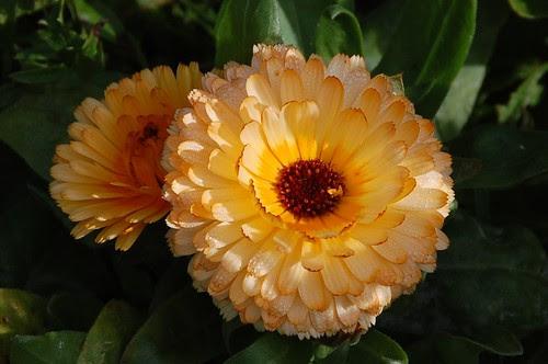 pale marigold