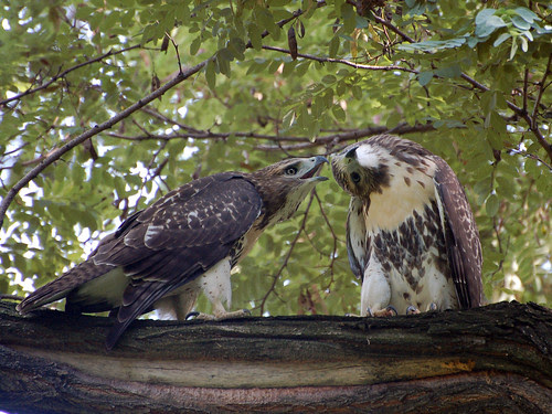 Morningside Red-Tail Fledgling Siblings