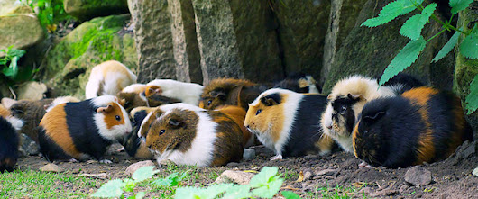 What can you do with Guinea Pig poo?