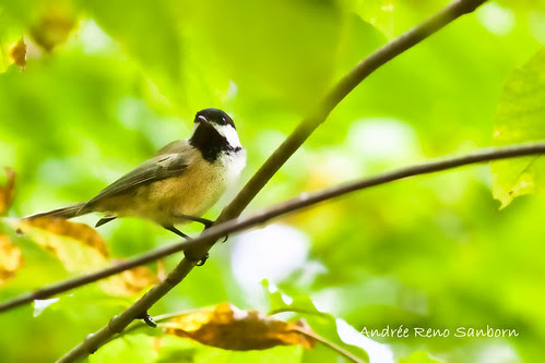 Black-capped Chickadee Watches Us-5.jpg