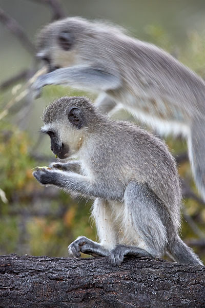 JHP Blog - December 28, 2017 - Vervet Monkey Jumping, Mountain Zebra National Park, South Africa