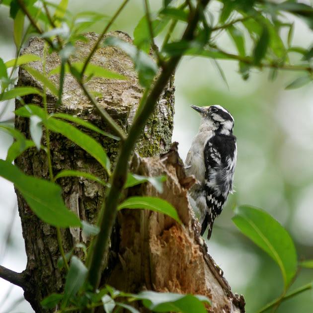 Ed Gaillard: birds &emdash; Downy Woodpecker excavating nest hole, Central Park