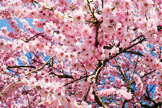 7 Places to See Cherry Blossoms and Other Spring Blooms Around Seattle