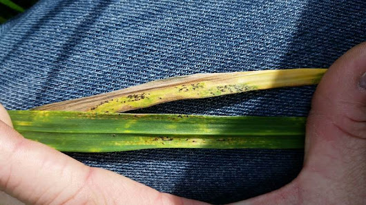 Wheat disease update – 02 April 2016