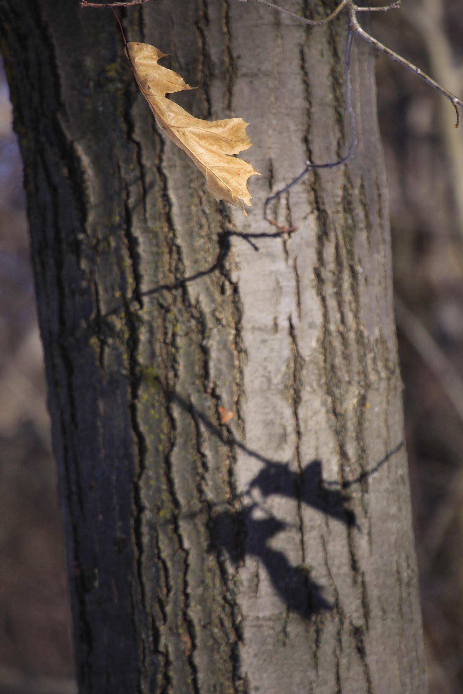 last oak leaf and shadow