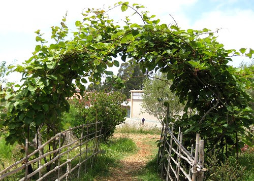 Kiwi vines in the Edible Schoolyard by Eve Fox, Garden of Eating