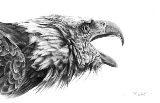 Screaming Eagle (2017) Pencil drawing by Peter Williams