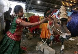 hindu cow