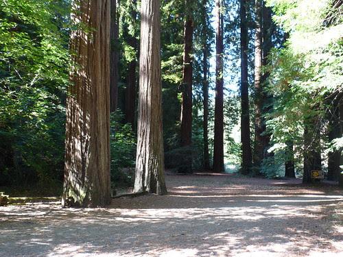 California Redwoods by Jack Crossen