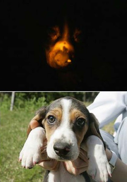 Cloned ... the beagle glows in the dark under ultra-violet light, top, and appears normal under daylight.