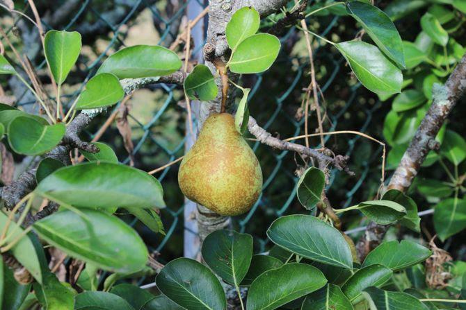 photo 28-bretagne jardin arbre fruits poire_zps5bdqconw.jpg