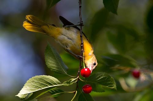 Baltimore Oriole in Russ's cherry tree