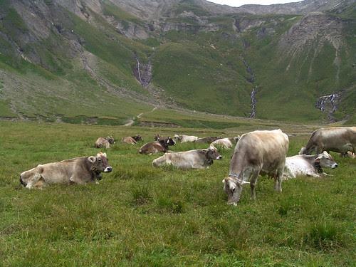 le mucche del formaggio bettelmatt