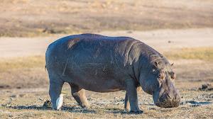 """Ubuntu 21.04 si chiamerà """"Hirsute Hippo"""""""