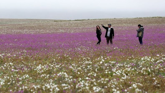 Chile's Atacama desert: World's driest place in bloom after surprise rain - BBC News