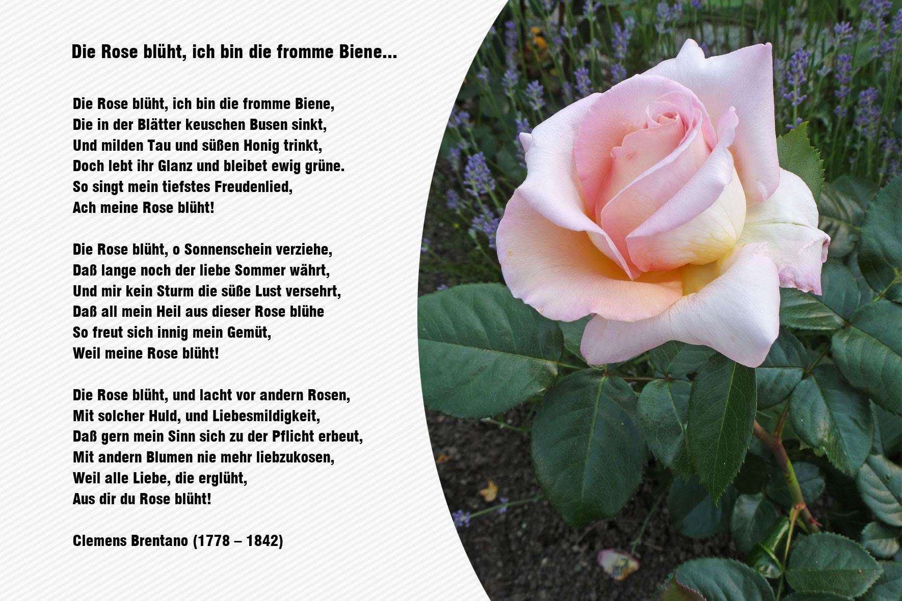 Gedicht Rose Kurz
