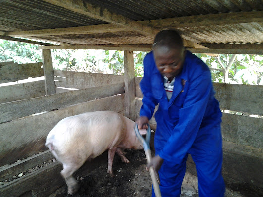 Piggery Farming: How To Build A Lucrative African Business From Scratch