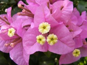 Bougainvillea_glabra_blossom