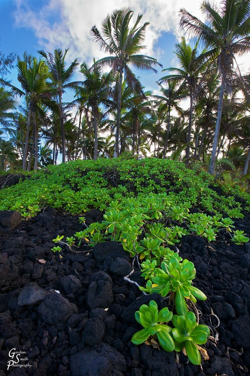 Pahoa lava rock is being overtaken by the jungle