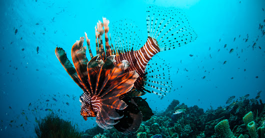 Lionfish Culling in the Cayman Islands