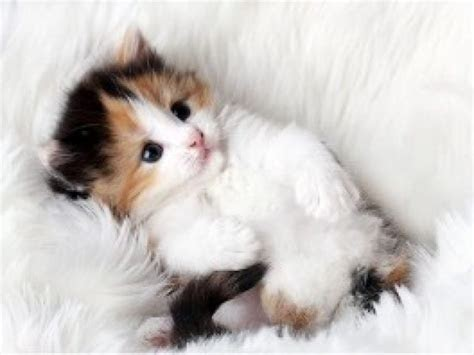 Gambar Kucing Anggora Lucu Imut Semua Yang Kamu Mau