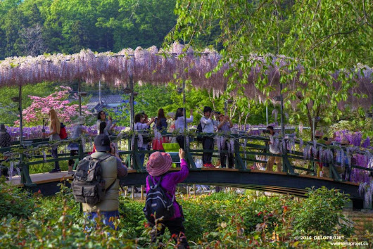 Ashikaga Flower Park the best spot for wisteria