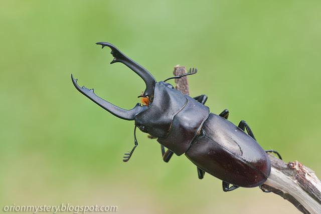 IMG_7093 copy black stag beetle Prosopocoilus buddha