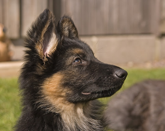 Should you get a German shepherd puppy? 11 things to know
